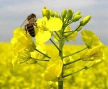 В текущем году в Украине ожидается снижение урожая рапса