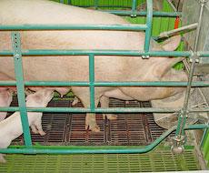 Производство продукции свиноводства за 11 месяцев 2015 увеличилось на 8,6 % - до 2,79 млн тонн