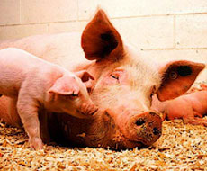 В США зарегистрировано самое большое количество свиней за последние 27 лет