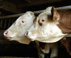 У 2016 поголів'я корів скорочуватиметься швидшими темпами, ніж у 2015, — експерт