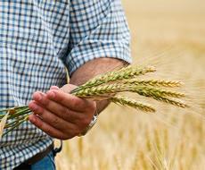 Експерти радять зерновикам переорієнтуватись на внутрішній ринок