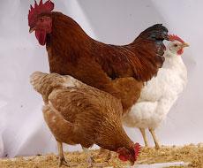 В первую неделю 2016 года Россия резко снизила ввоз импортной курятины