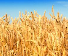 Украина в прошлом году собрала 60 миллионов тонн зерна