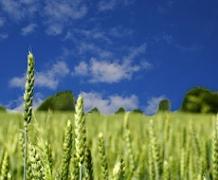 Прогноз мирового производства зерна в 2015-16 МГ снижен на 4 млн т