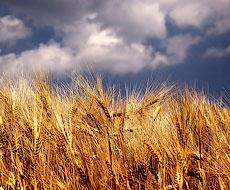 Эстония собрала рекордный урожай зерновых