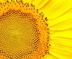 В Сумской области возросло производство семян подсолнечника