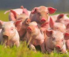 Зниження закупівельних цін на ринку живця свиней триває