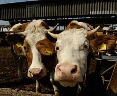 Украина: 4 молочные фермы HarvEast получили статус племенных