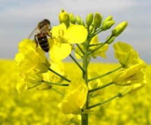 Производство рапсового масла увеличилось на 38%
