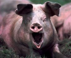Беларусь ввела запрет на ввоз свинины из Кировоградской области Украины из-за АЧС