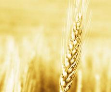Цена реализации украинских зерновых увеличилась на 22,2%