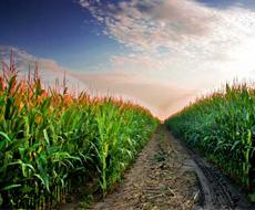 В США возрастет посевная площадь под кукурузой и снизится под соей – прогноз