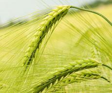 Впервые в Украине будут производить гибридные семена ячменя