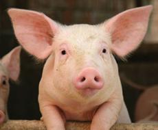 У лютому вартість свиней у живій вазі зросла на 14%