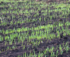 На півдні України заморозки пошкодили посіви ячменю