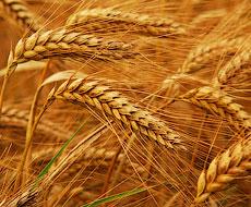 За тиждень внутрішні ціни на пшеницю знову зросли