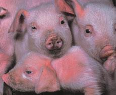 Россельхознадзор начал инспекцию белорусских производителей свиноводческой продукции