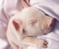 В Европе растет потребление свинины