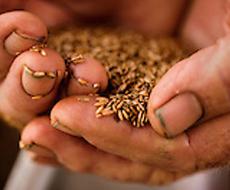 Врожай зерна в Україні буде на 8-10% менший за минулорічний