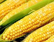 Экспорт кукурузы из Украины увеличится до 15,7 млн т — USDA