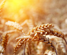 Минсельхоз США снова повысил прогноз урожая зерновых в Украине