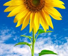 В Україні ідеальні умови для сівби соняшнику, кукурудзи та цукрових буряків