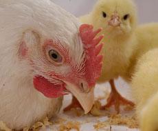 Поголовье птицы на филиале «Авангарда» увеличится на 600 тыс.