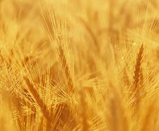 Квота на украинскую пшеницу исчерпана на 97%
