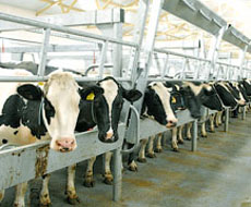 ІМК до 2018 року запустить нову молочну ферму