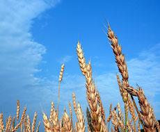 Запасы зерна в Украине к 1 апреля упали на 20%