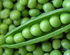 AgroGeneration завершила сев гороха и ярового ячменя