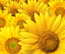 Соняшник витіснятиме інші культури з полів — експерт