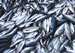 «Приріст» калкана та пеленгаса в азовському морі буде у 2018-19 роках