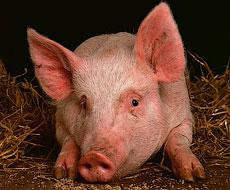 «KSG Agro» поставить першу партію свиней у Грузію в червні