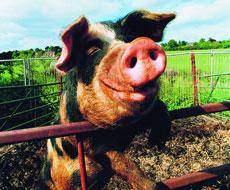 Україна запевнила ЄС, що контролюватиме експорт тварин в Європу