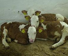 На Волині за 5 місяців зменшилося поголів'я великої рогатої худоби