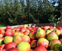 Білорусь змінила Росію по обсягам імпорту українських яблук