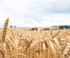 ОАЕ оголосили тендер на закупівлю зерна