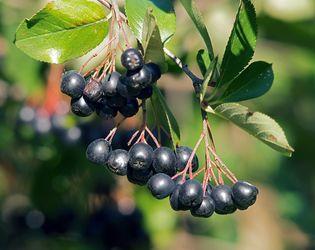 Зростає попит на аронію як на вітамінну ягоду і декоративний кущ