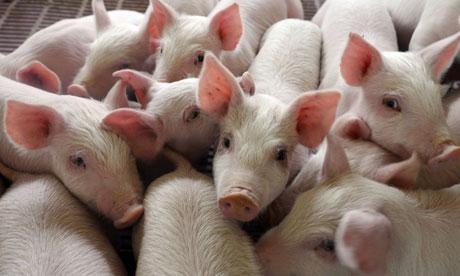 У KSG Agro обсяги продажів свиней збільшилися на 60%