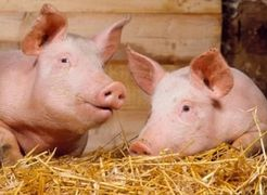 Червневі свята сприяють росту цін на живця свиней