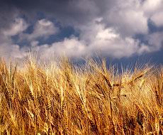 НБУ покращив прогноз урожаю зернових до 61 млн тонн