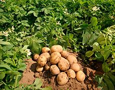 Національний день Картоплі - 2016