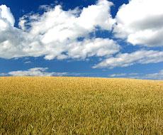 Ранні зернові зібрані на 99% площі