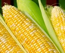 Врожай кукурудзи у світі буде рекордним в сезоні 2016/17 ‒ прогноз USDA