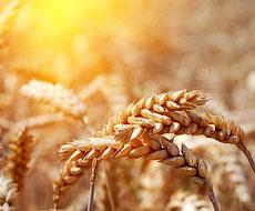 Прогноз світового збору зерна підвищено на 23 млн тонн ‒ Міжнародна рада з зерна