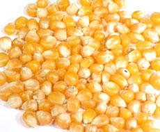 Вітчизняні аграрії розпочали збирання кукурудзи на зерно