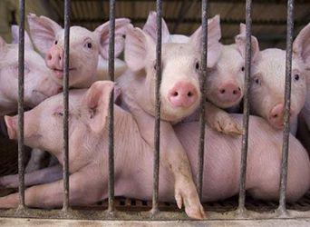Ціна на живець свиней поступово збільшується