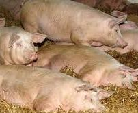 АЧС підкосила ще четверо свиней на Одещині