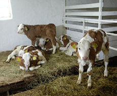 На Житомирщині сільгоспвиробники збільшують поголів'я корів